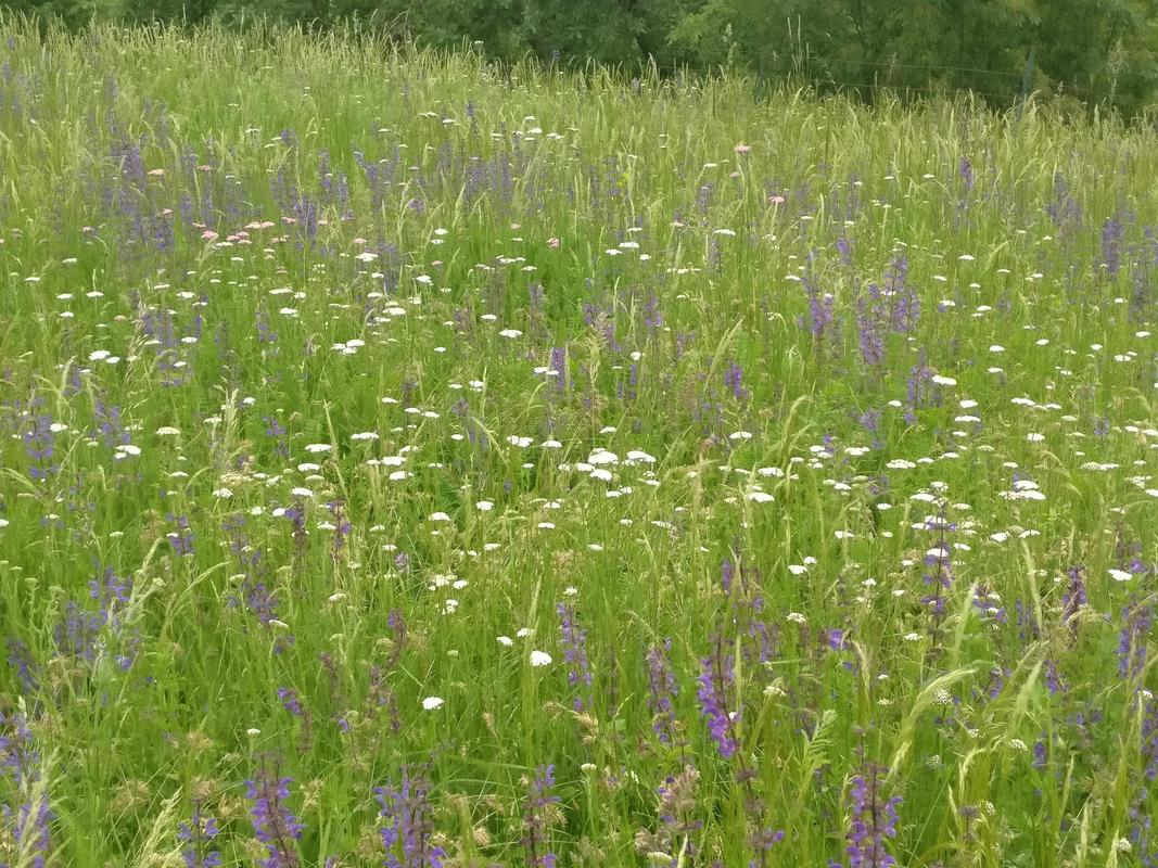 Wildflowers in Langhe June 2018